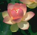 PLOT Mrs. Perry D. Slocum Lotus (yellow/pink) - Changeable